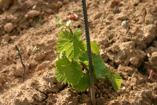 Bild 16: ... und wachsen ... (2. Juni 06)