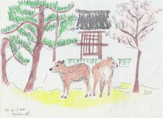 奈良公園 -Nara Park- ( 2007.4.1SUN )