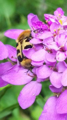 Pinselkäfer in Schleifenblume