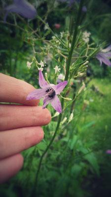 zwei Mini-Wildbienen in einer Wiesenglockenblume