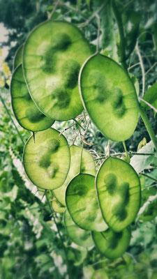 die (unreifen) Samenstände des Silberblatts. Vorfreude auf zahlreiche Nachkommen!