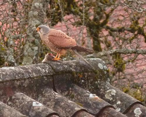 Faucon crécerelle, sur le toit de La Petite Forge