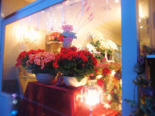 クリスマスの雰囲気に合うリーガベゴニア