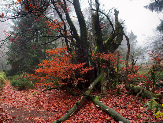 Die Blätter zeigen, dass noch Leben in dem alten Baum steckt