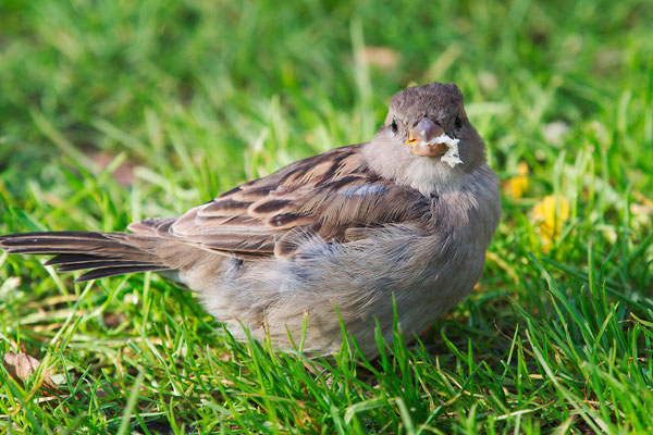 Haussperling - Passer domesticus - House Sparrow
