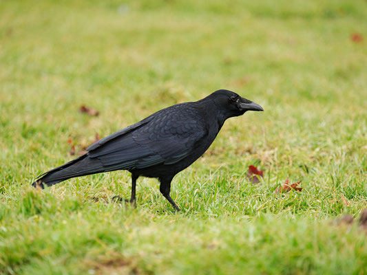 Rabenkrähe - Corvus corone - Carrion Crow