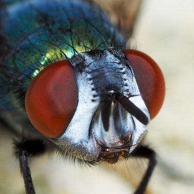 Fliegenporträt
