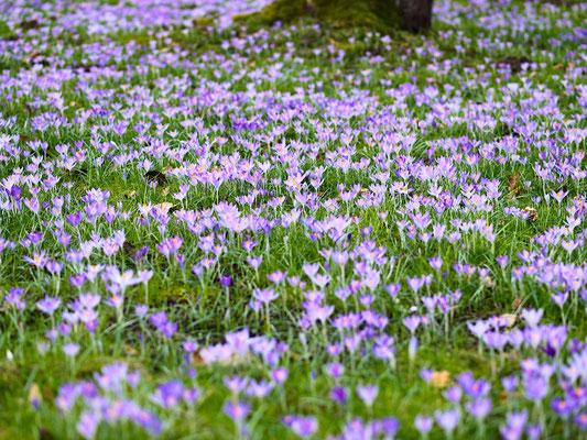 Viele Krokusblüten