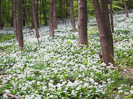 Bärlauchblüte im Teutoburger Wald