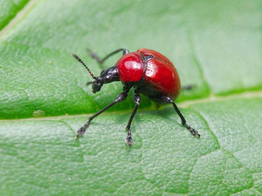 Roter, kleiner Käfer