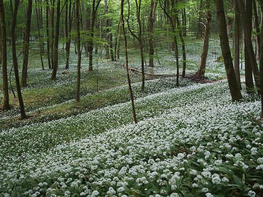 Hainich - Blütenteppich in weiß