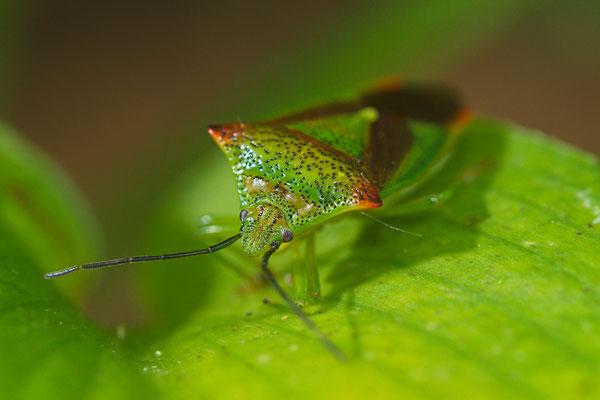 Stachelwanzen (Acanthosomatidae)