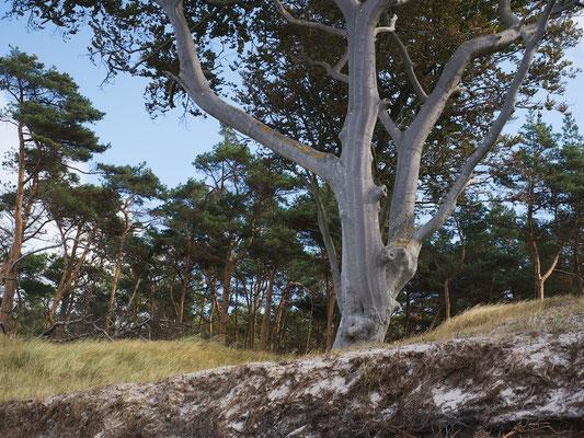 Darß - Ein einzelner Baum an der Abbruchkante