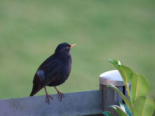 Amsel - Turdus mercula - Common Blackbird