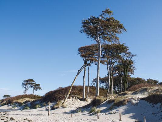 Darß - Buchengruppe am Strand