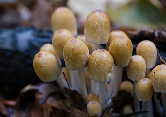 Fruchtkörper eines Pilzes