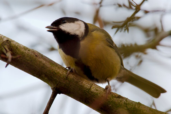 Kohlmeise - Parus major - Great Tit