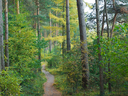 Waldpfad im Sennewald