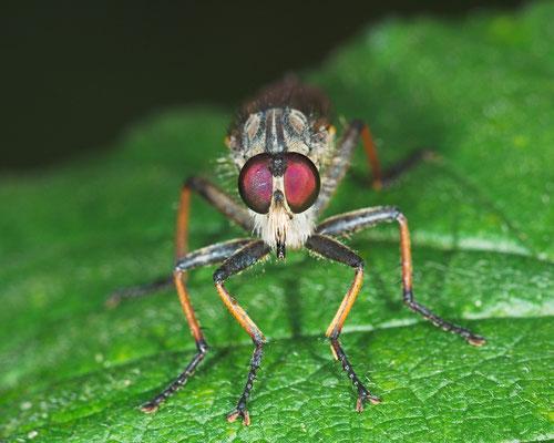 Raubfliege (Asilidae)