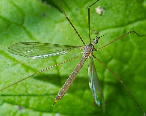Schnake (Tipula)