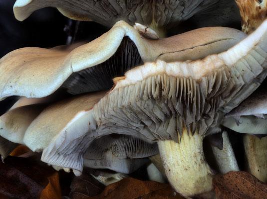 Mehrschichtige Pilze