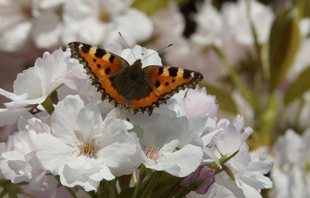Säulenkirsche mit Schmetterling