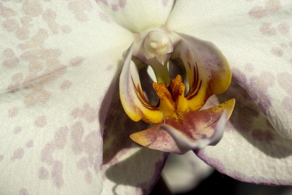 Phalenopsis 1