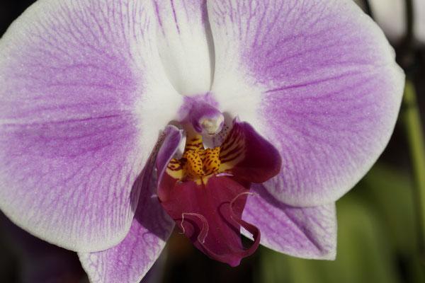 Phalenopsis 2