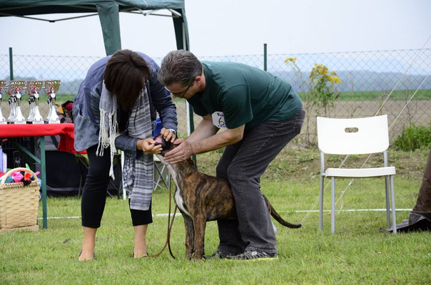 Jette Giodoro - Annual Championship ÖBK 2014 - VP1 Baby Class Brindle Females