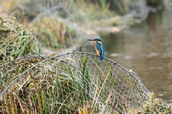 Eisvogel auf der Barriere am Südende des Teichs