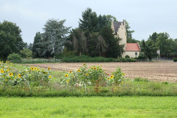 Ende der Blumenfelder südlich des Wegs