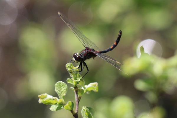Kleine Moosjungfer (Leucorrhinia dubia), Franzosenwiesen - Burgwald