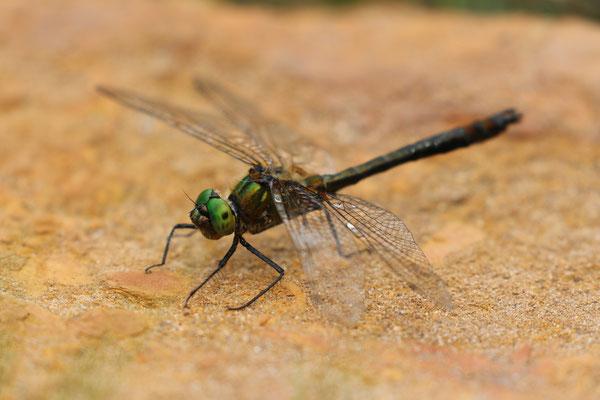 Gemeine Smaragdlibelle (Cordulia aenea), Rotes Wasser Burgwald