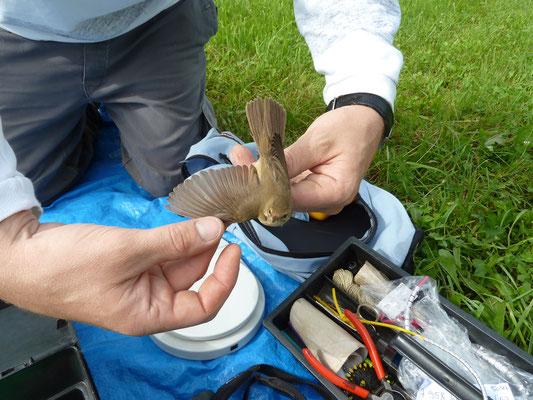 Beringung und Vermessung von Wildvögeln in Zusammenarbeit mit der Vogelwarte Helgoland