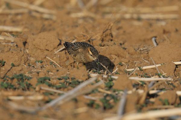 Mornellregenpfeifer  Mornellregenpfeifer (Charadrius morinellus)