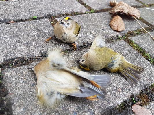 Tote und sterbende Wintergoldhähnchen nach Scheibenanflug an der Ortenbergschule im Oktober 2019