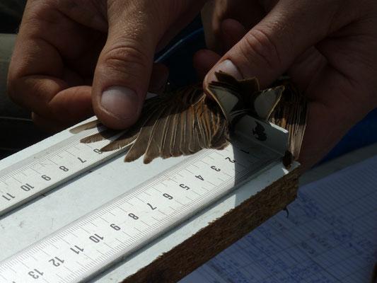 Wissenschaftliche Untersuchung von Wildvögeln