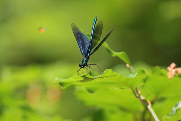 Blauflügel-Prachtlibelle (Calopteryx virgo), Orke Ederbringhausen