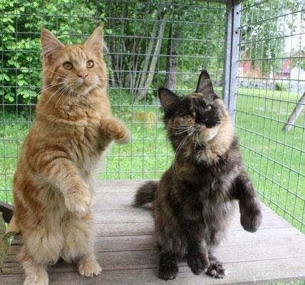 кот и кошка мейн кун