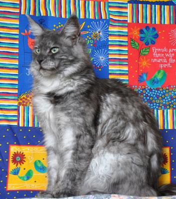 кошка мейн кун фото