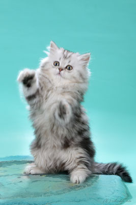 female highland straight kitten in Perm, кошка хайленд страйт в Перми