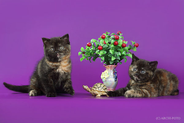 kittens scottish straight, котята скотриш страйт черепахового окраса