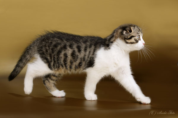 кошка шотландская вислоухая, scottish fold female