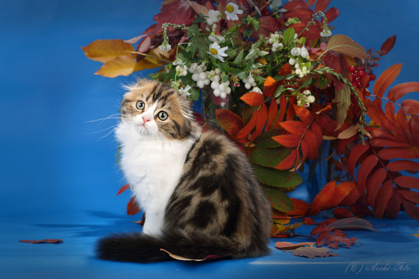 хайленд фолд, кошка. highland fold female