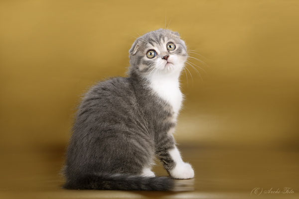 scottish fold female, кошка скоттиш фолд