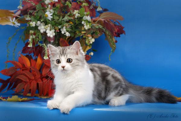 Кот хайленд страйт в Перми, highland straight male kitten in Perm