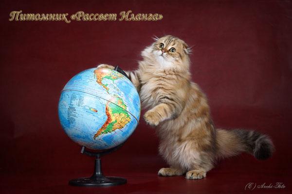 хайленд фолд, кот, highland fold male