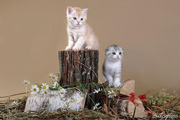 шотландские котята, scottish kittens