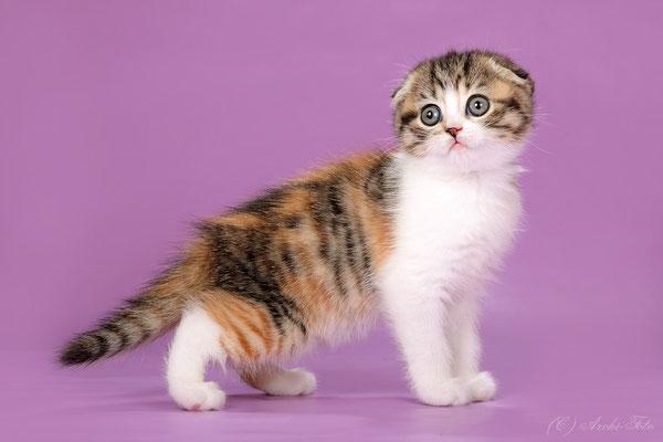 кошка шотландская вислоухая черепаховая полосатая с белым, scottish fold female