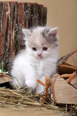 female highland straight, кошка хайленд страйт, Снежана